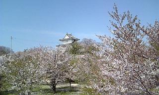 丸亀城桜1